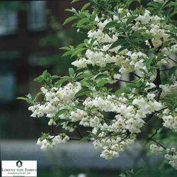 Халезия каролинская (Ландышевое дерево)