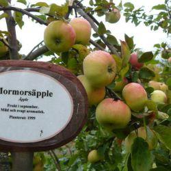 Яблоня Морморс эппле