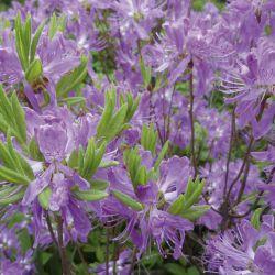 """Rhododendron canadense """"Violetta"""" (Rhododendron canadense """"Violetta"""" Финляндия)"""