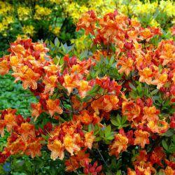 Rhododendron  'Klondyke'