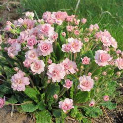 Примула Беларина Пинк Шампань (Primula Belarina Pink Champagne)