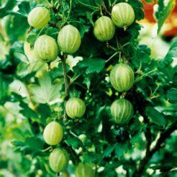 Крыжовник желтый (Ribes uva-crispa 'Hinnonmaen Keltainen' Финляндия)