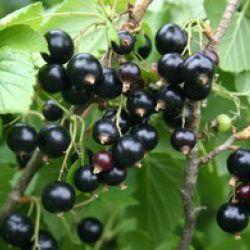 "Смородина чёрная ""Mikael"" (Ribes nigrum ""Mikael"" Финляндия)"
