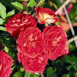 Starlet Rose Carmen