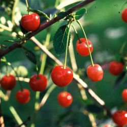 Huvimajan Kuulasmarja (привитое растение)