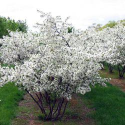 Яблоня Саржента (Malus toringo var.sargentii Финляндия)
