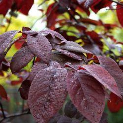 "Слива гибридная краснолистная (Prunus cerasifera ""Pissardii""Х Prunus ussuriensis)"