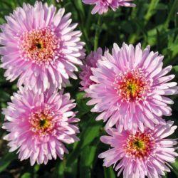 Астра альпийская махровая(розовая)