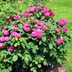 Rose de Resht (Kordes) (Германия)