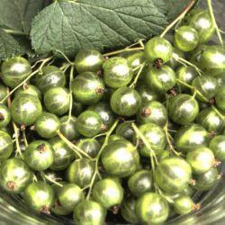 """Смородина чёрная """"Venny"""" (Ribes nigrum """"Venny"""" Финляндия)"""