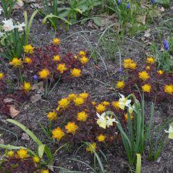 "Молочай многоцветковый ""Бонфайер"" (Euphorbia polychroma 'Bonfire')"