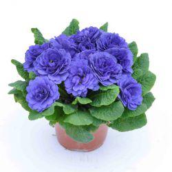 Примула Прима Беларина Блю Чемпион (Primula Prima Belarina Blue Champion)