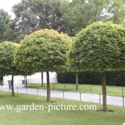 """Клён остролистный """"Глобозум"""" (Acer platanoides 'Globosum' Финляндия)"""