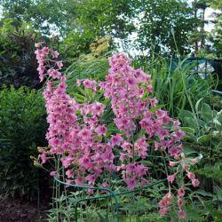 Дельфиниум ruysii 'Pink Sensation'