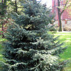 Ель энгельмана (Picea engelmannii Россия)