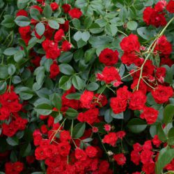 Scarlet Meidiland