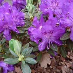 Rhododendron 'Azurella'