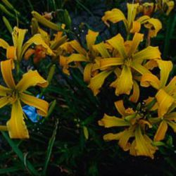 "Лилейник ""Heavenly Free Spirits"" (Hemerocallis ""Heavenly Free Spirits"" США)"