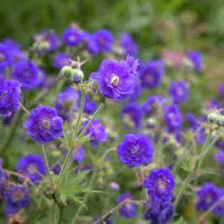 "Герань ""Пленум Виолацеум"" (Geranium pratense 'Plenum Violaceum')"