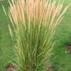 "Вейник 'Karl Foerster"" (Calamagrostis  acutiflora 'Karl Foerster"")"