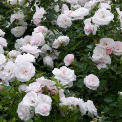 Aspirin Rose (Голландия)