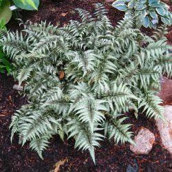 Кочедыжник нипонский Металликум (Athyrium niponicum metallicum)