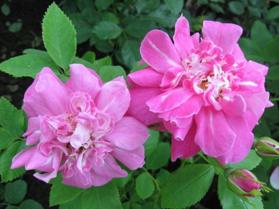 договор должен роза плетистая уильям баффин выращивание в спб реже