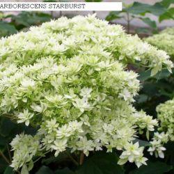 Гортензия древовидная Hayes Starburst (Hydrangea arborescens Hayes Starburst)