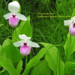 Cypripedium reginae х flavum album