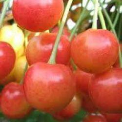 Брянская розовая (черешня)