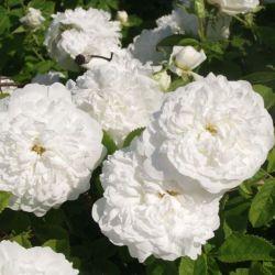 Pompon Blanc Parfait