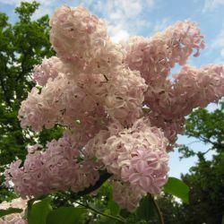 Бюффон (Sirynga hyacinthiflora Buffon Россия)
