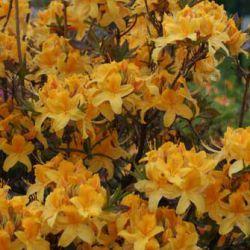 Onnimanni (Rhododendron 'Onnimanni' Финляндия)