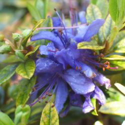 Rhododendron  'Maggie'