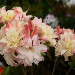 Rhododendron  'Cannon's Double' (syn. Exbury Cannon's Double)