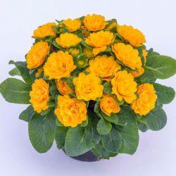 Примула Прима Беларина Голди (Primula Prima Belarina Goldie)