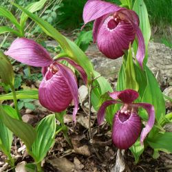Cypripedium macranthon