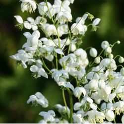 "Василистник ""Сплендид Уайт"" (Thalictrum Splendide White)"