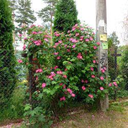 Rosa gallica Splendens