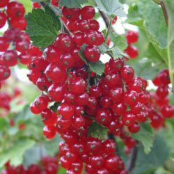 "Смородина красная ""Красная Шапочка"" (Ribes rubrum ""Punahilkka"" Финляндия)"