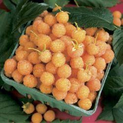 "Малина ""Фолголд"" (Rubus idaeus 'Fallgold' Финляндия)"