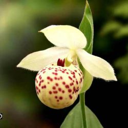 Cypripedium  Vicky's Delight