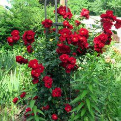 Roter Korsar (Kordes) (Германия)