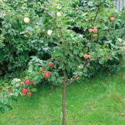 Яблоня-сад.4 разных сорта на одном дереве (карликовый подвой) (Финляндия)
