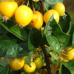 Яблоня Китайка золотая ранняя (Финляндия)