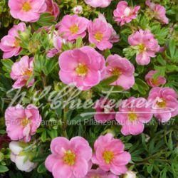 """Лапчатка кустарниковая """"Пинк Парадайс"""" (Dasiphora fruticosa 'Pink Paradise' Финляндия)"""