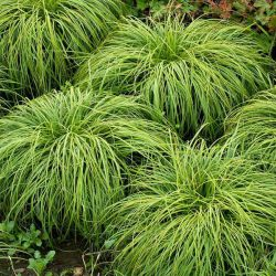 Осока 'The Beatles' (Carex carypophyllea 'The Beatles')