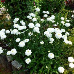 "Ромашка ""Fiona Coghill"" (Leucanthemum ""Fiona Coghill"")"