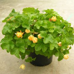Морошка 'Nyby' (Rubus chamaemorus 'Nyby' Финляндия)