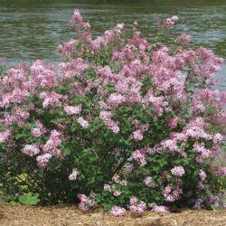 "Сирень гибридная ""Pink Perfume"" (Syringa Bloomerang  ""Pink Perfume"" Финляндия)"